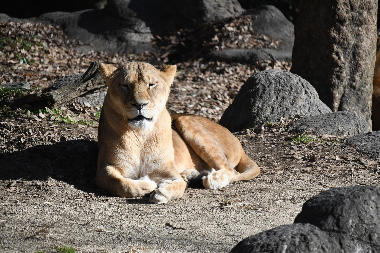 日向でくつろぐライオン