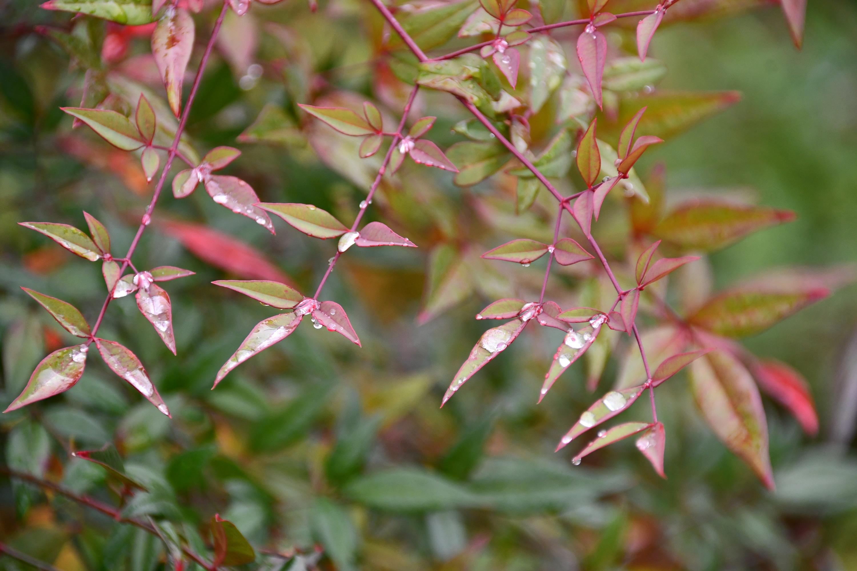 紅葉している雨上がりの葉