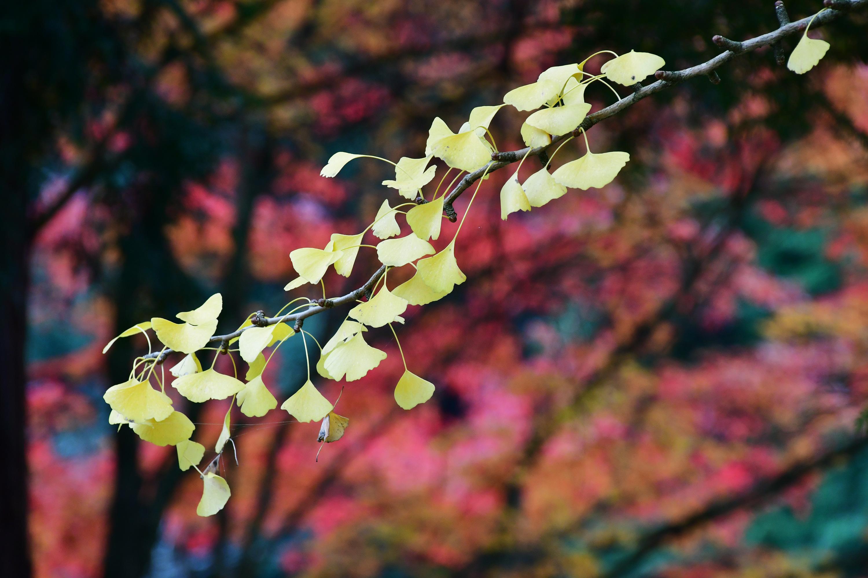 紅葉に映える銀杏の葉