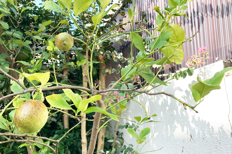 庭のレモンの木