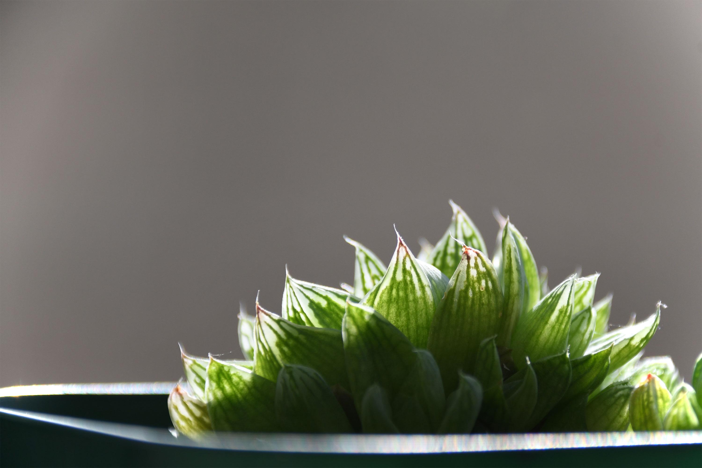 多肉植物クーペリー