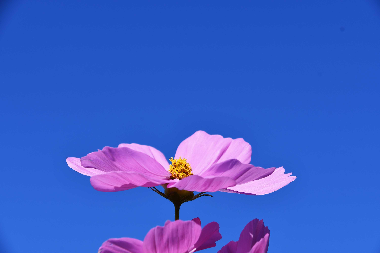 空に向かって咲く秋桜