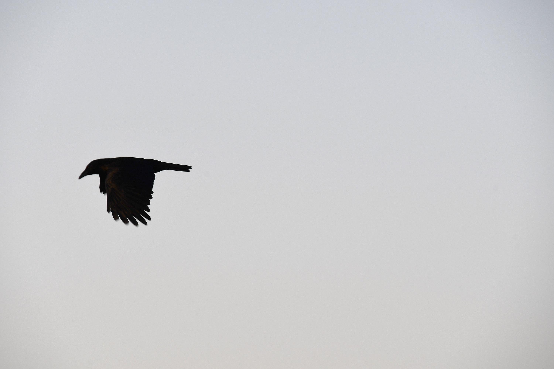 カラスが飛ぶ夕方の空