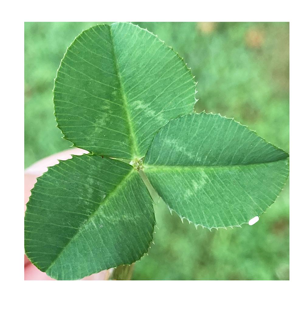 【切り抜き】三つ葉のクローバー