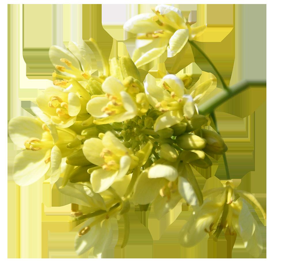 【切り抜き】菜の花