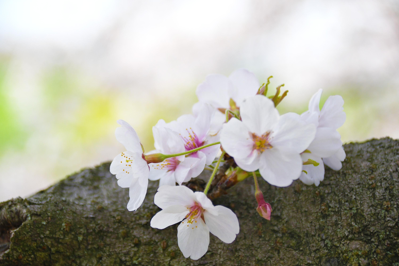 木の幹と桜