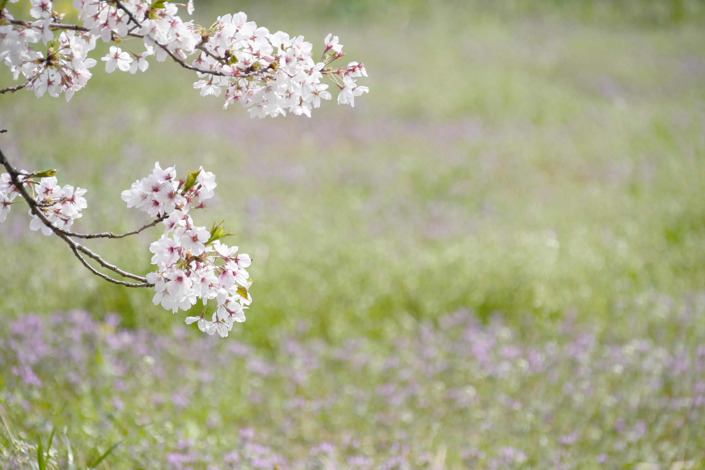 草原と桜の木