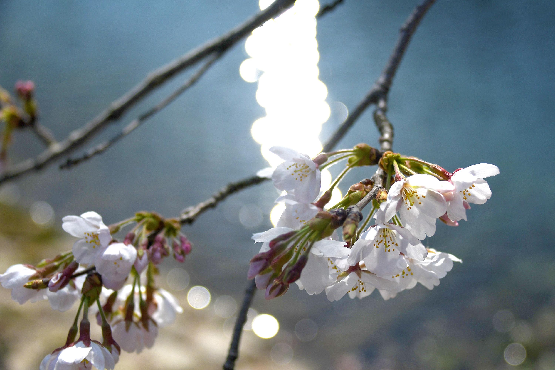 月夜に照らされる夜桜