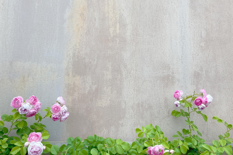 コンクリートの背景にピンクのバラ1