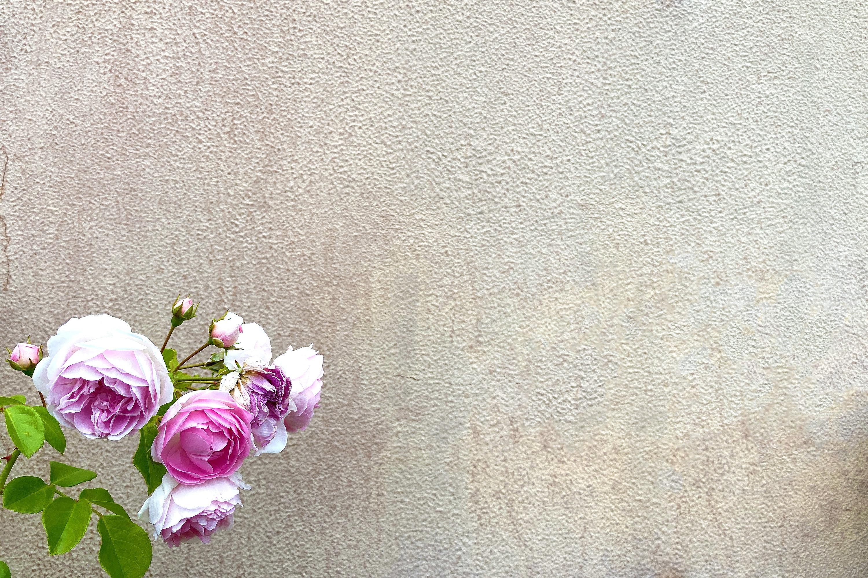 コンクリートの背景にピンクのバラ3