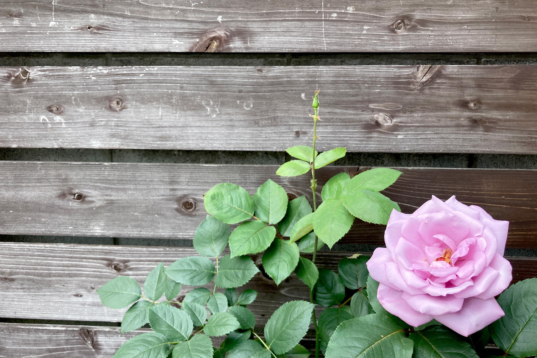 木の板とピンクのバラ1