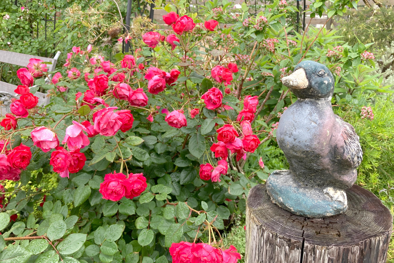 カモの置物と庭にある赤いバラ