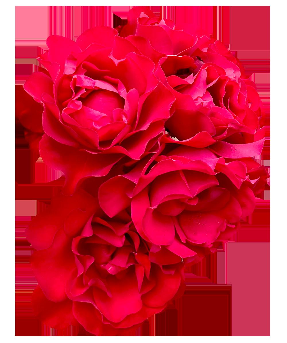 【切り抜き】赤いバラ
