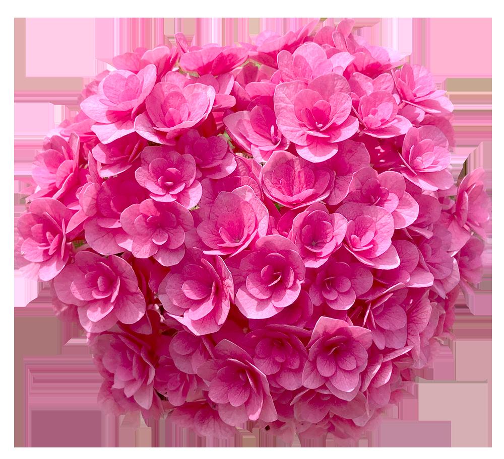 【切り抜き】濃いピンク色の紫陽花
