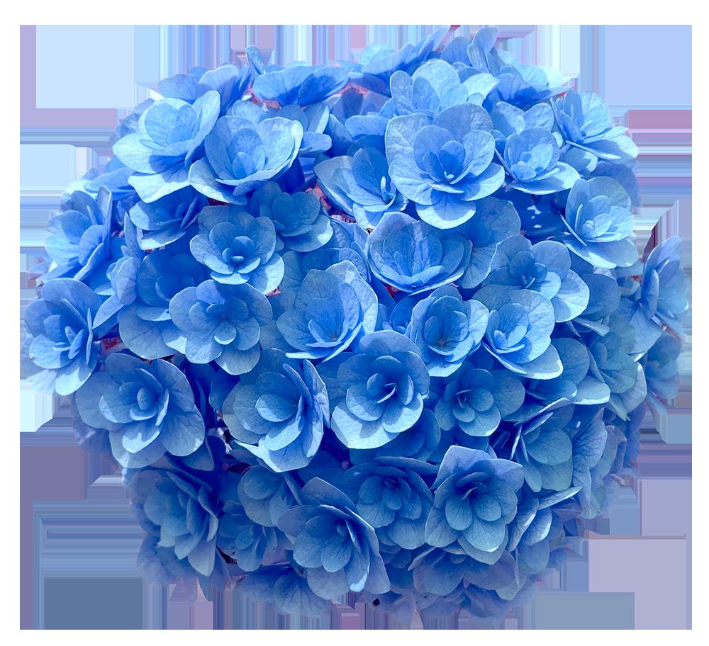 【切り抜き】青い紫陽花(色変更の加工あり)