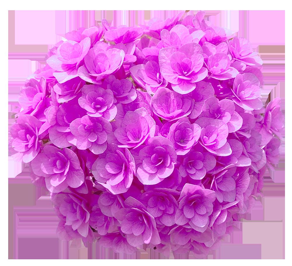 【切り抜き】赤紫の紫陽花(色変更の加工あり)