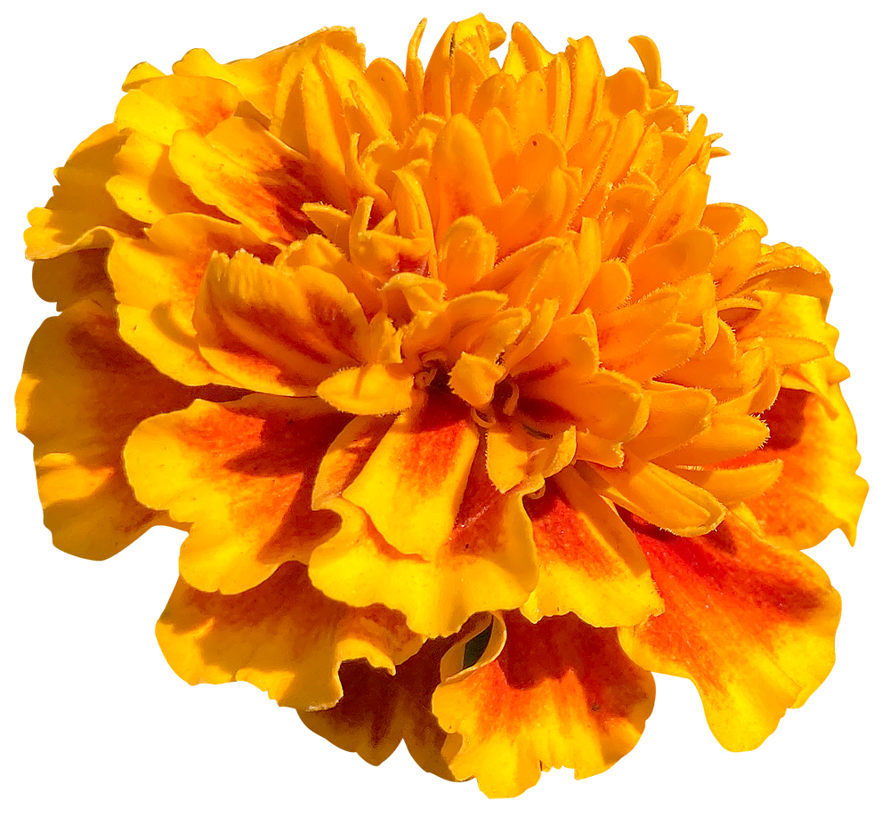 【切り抜き】オレンジのマリーゴールドの花
