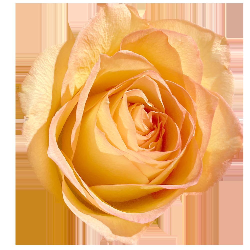 【切り抜き】オレンジ色のバラ
