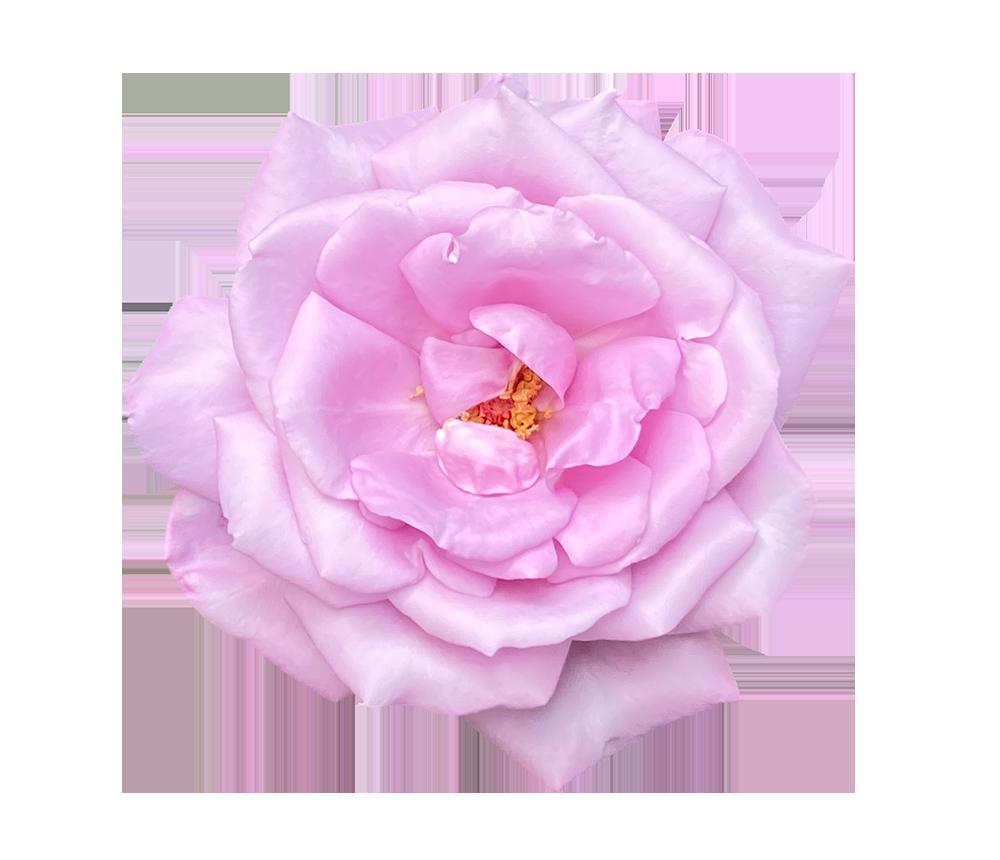 【切り抜き】大きなピンクのバラ