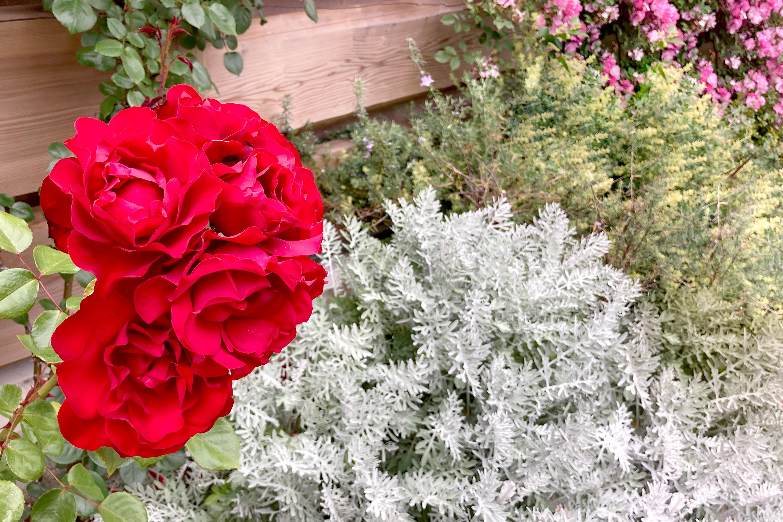 赤いバラと緑1