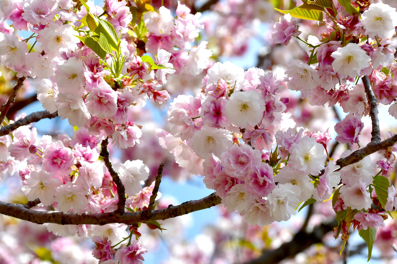 満開の八重桜2