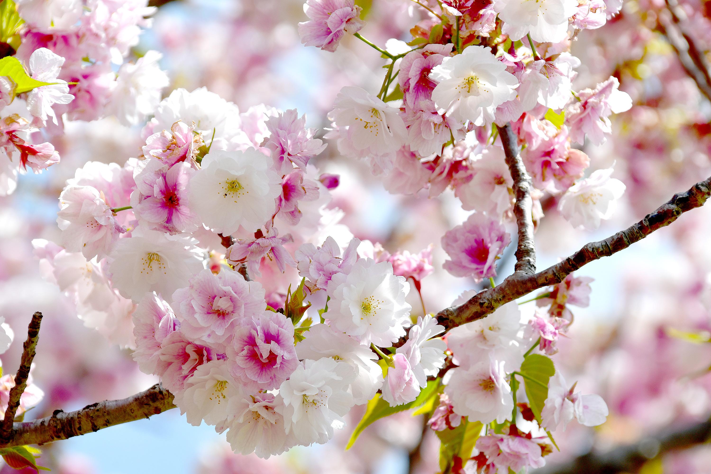満開の八重桜1