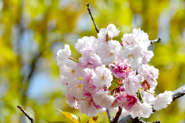 満開の八重桜3