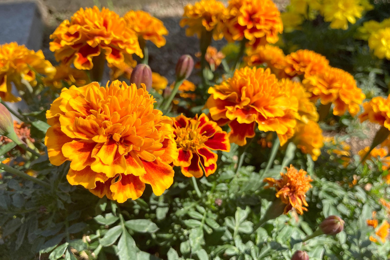 オレンジのマリーゴールドの花