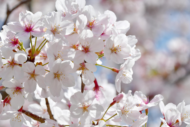 アップの桜の花1
