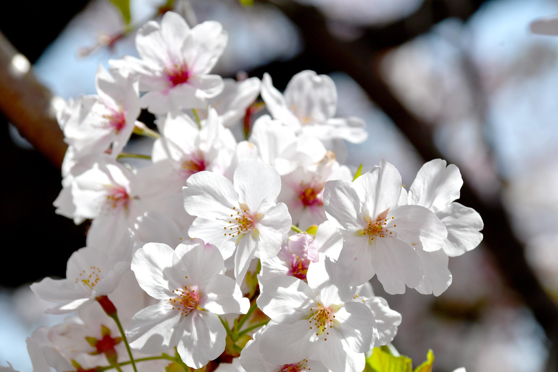 アップの桜の花2