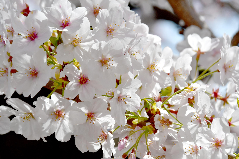 アップの桜の花3