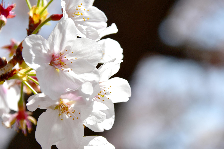 アップの桜の花4