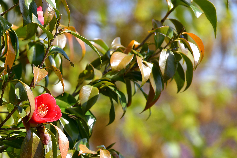 茂る葉の中の椿