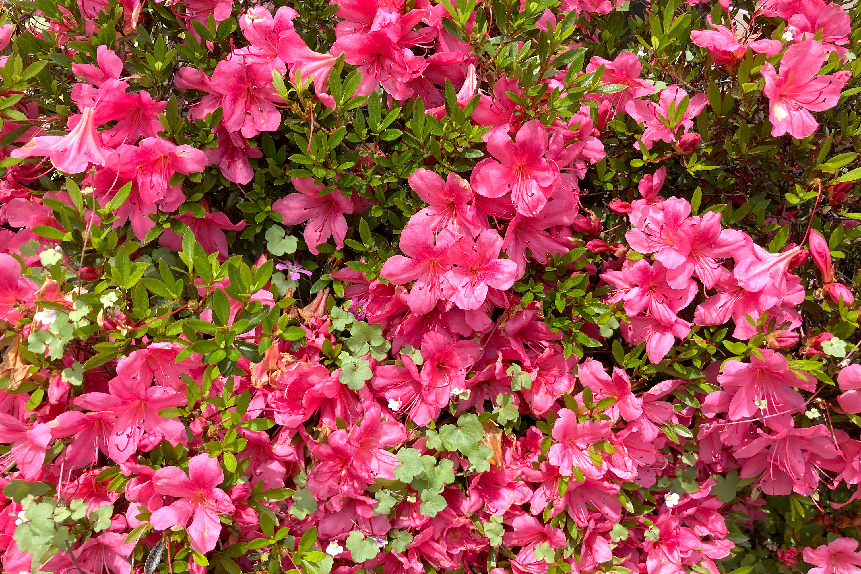 咲き乱れるツツジの花