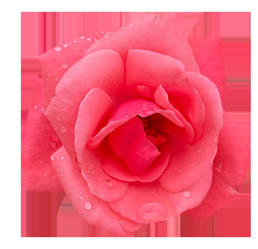 【切り抜き】雨に濡れている赤いバラ