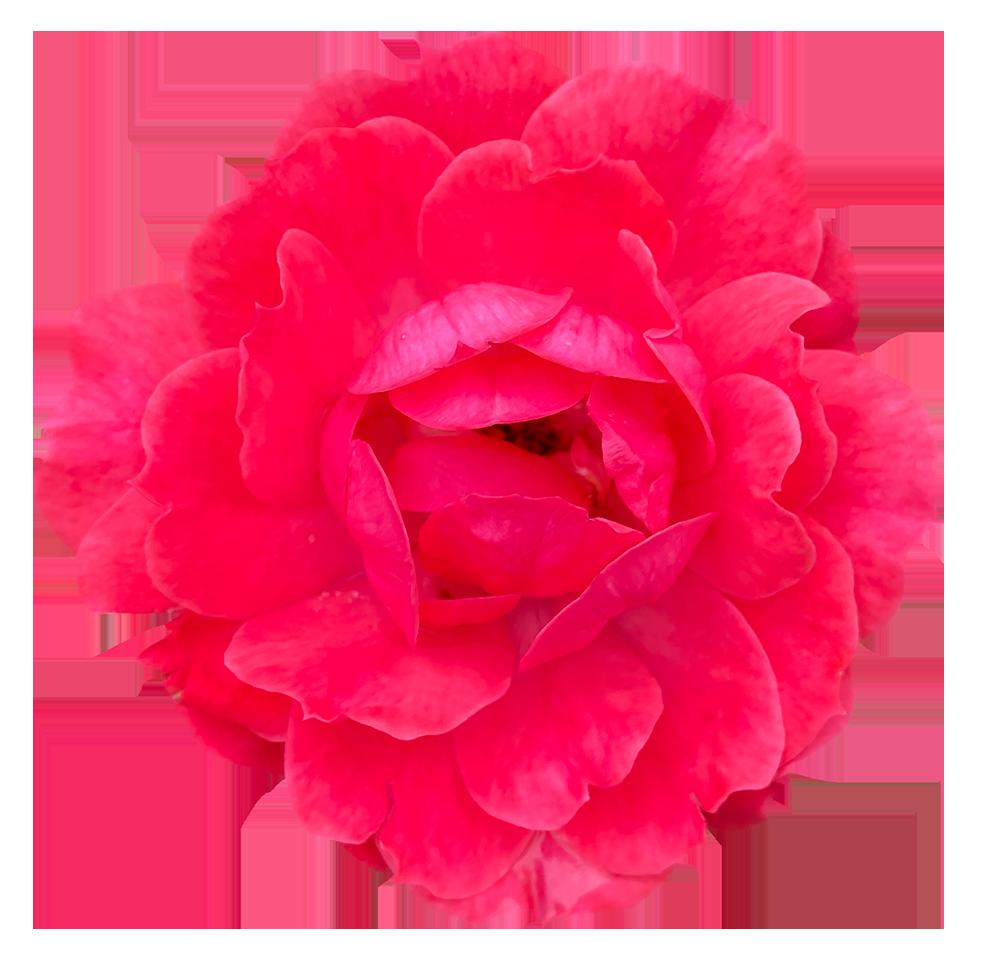 【切り抜き】花びらの多い赤いバラ