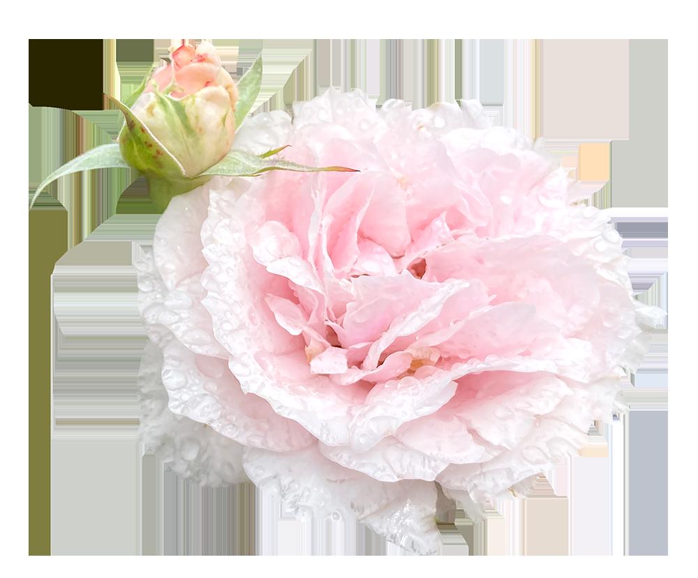 【切り抜き】濡れている薄ピンクのバラ