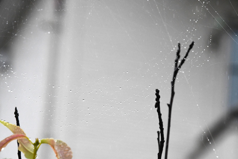 蜘蛛の巣に光る雨のしずく1