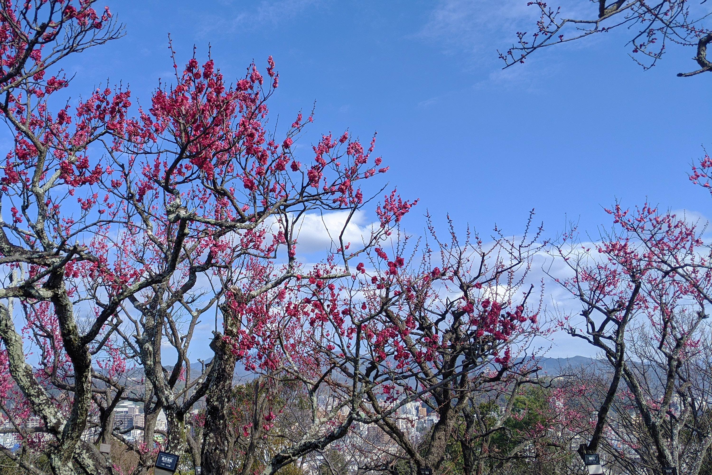 鹿児島紅の木と街並み