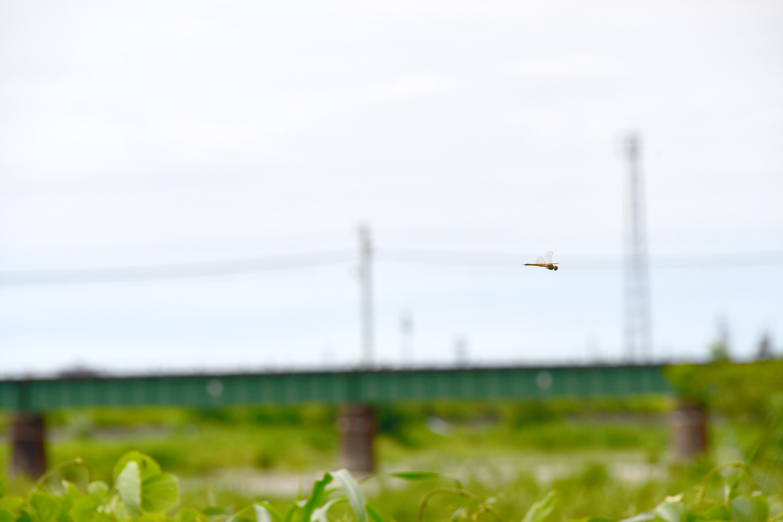 河川敷を飛ぶとんぼ