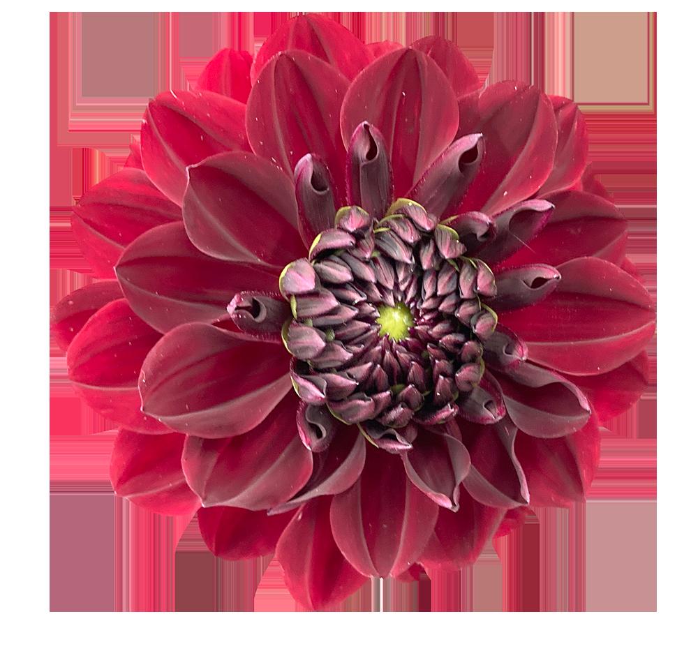 【切り抜き】赤いダリアの花