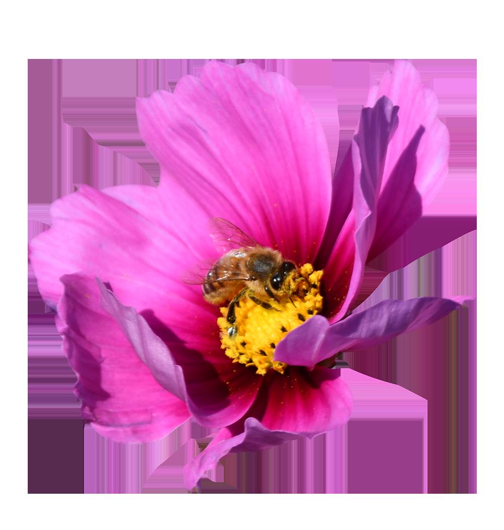 【切り抜き】ミツバチとコスモス
