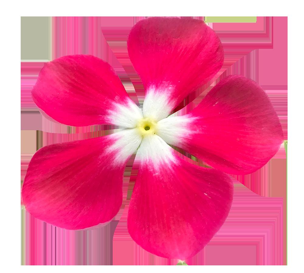 【切り抜き】赤い日々草の花