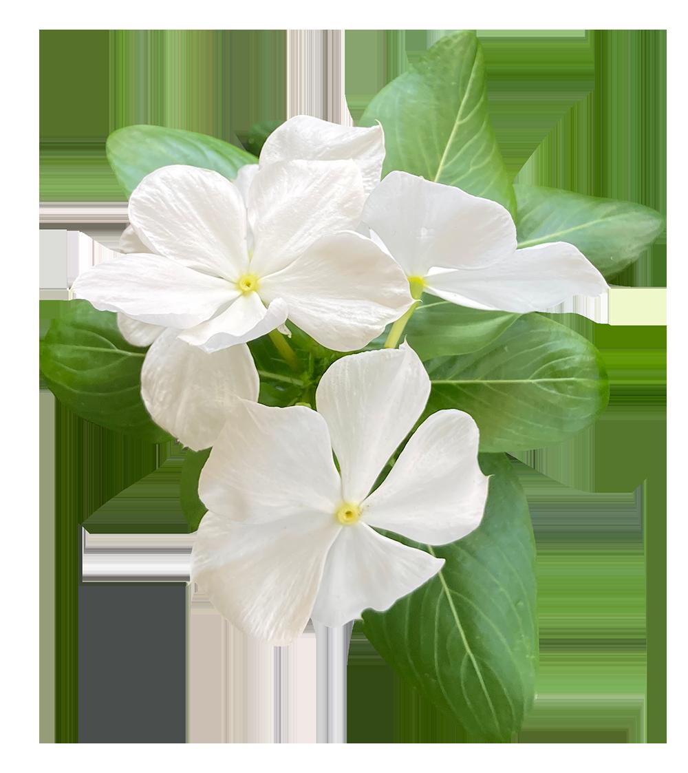 【切り抜き】白い日々草の花