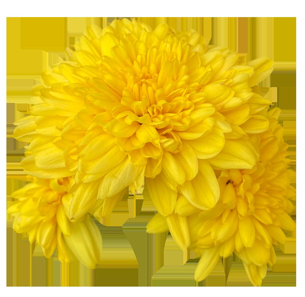 【切り抜き】黄色いスプレー菊の花
